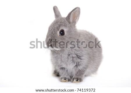 Gray baby bunny, rabbit - stock photo