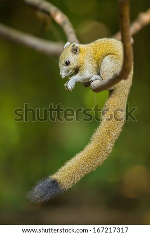 Gray-Bellied Squirrel (Callosciurus caniceps (Gray, 1842)) in nature of Thailand - stock photo