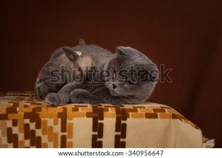 gray British cat and little rabbit  - stock photo