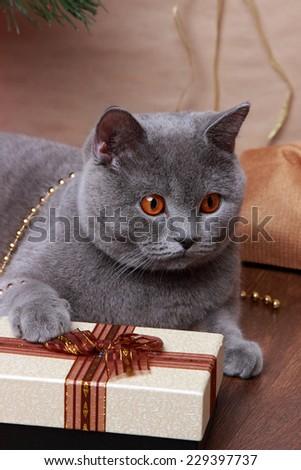 gray british cat on Holiday theme - stock photo