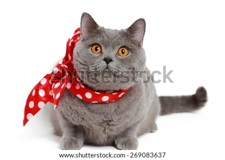 gray British cat with red bow - stock photo