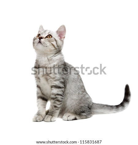 gray british kitten isolated on white background - stock photo
