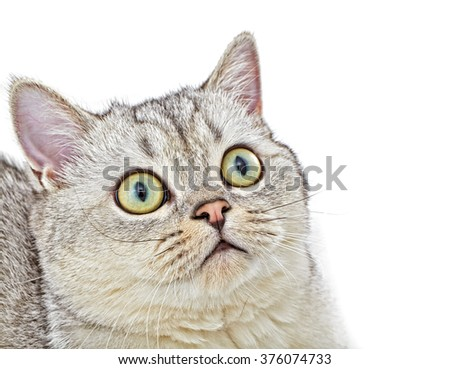 Gray British Shorthair. Little gray cat close up from above view portrait sitting and pay attention taking up his head on white background. - stock photo