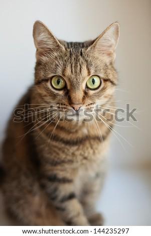 Gray cat closeup looking at camera - stock photo