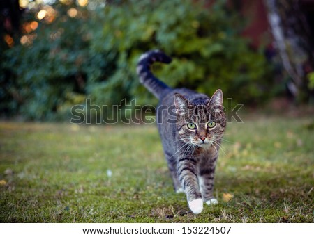 Gray cat in their area on the hunt, shallow focus,evening light - stock photo