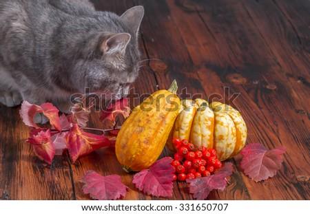 Gray cat inspecting Halloween decorations - stock photo