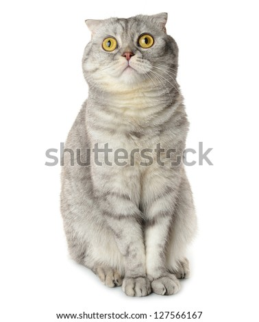 Gray cat isolated on white background - stock photo