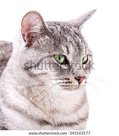 gray cat isolated on white background Clipping Path - stock photo