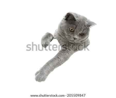 gray cat isolated on white background. horizontal photo. - stock photo