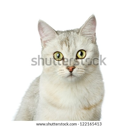 gray cat looking at camera. isolated on white background - stock photo