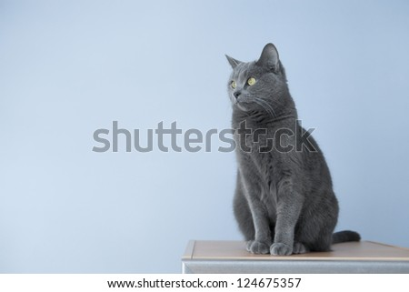 Gray Cat Looking Off to the Left on Blue Background - stock photo