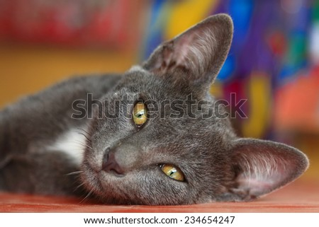 Gray cat lying and looking forward. - stock photo