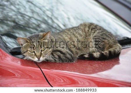 Gray cat lying on a red car on the street. - stock photo