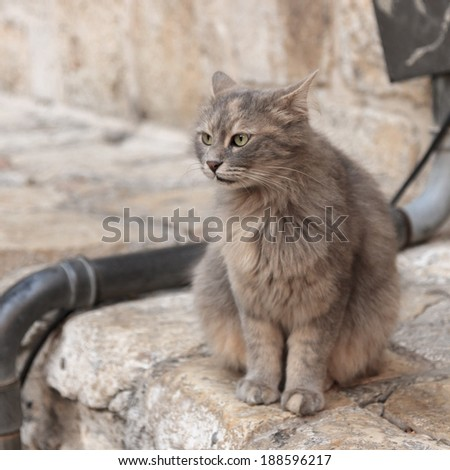 Gray cat says meow on the street in Jerusalem, Israel - stock photo