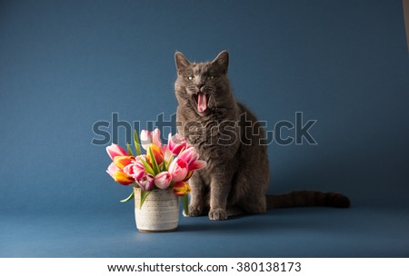 Gray Cat Sitting Next to Bouquet of Tulips Yawning - stock photo