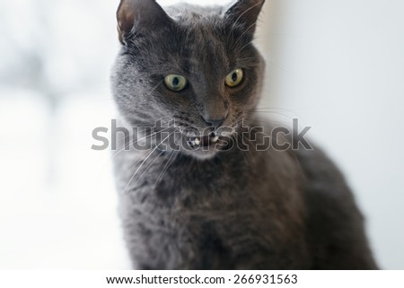 gray cat surprised face, open mouth copy space - stock photo