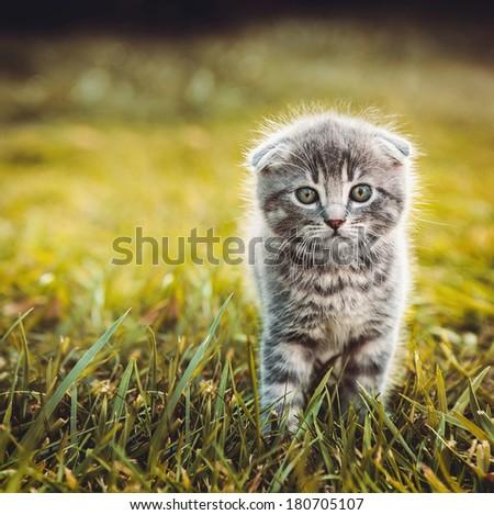 Gray cat walking on green grass - stock photo