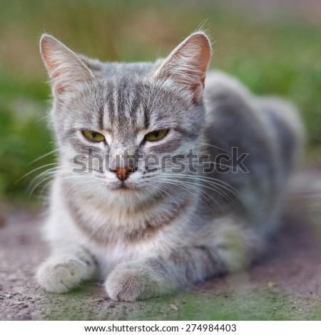 gray cat with yellow eyes lying on the street - stock photo