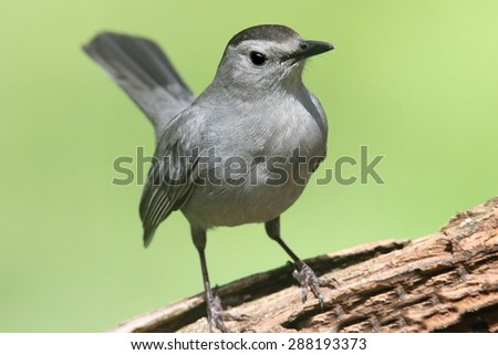 Gray Catbird (Dumetella carolinensis) on a  log with a green background - stock photo