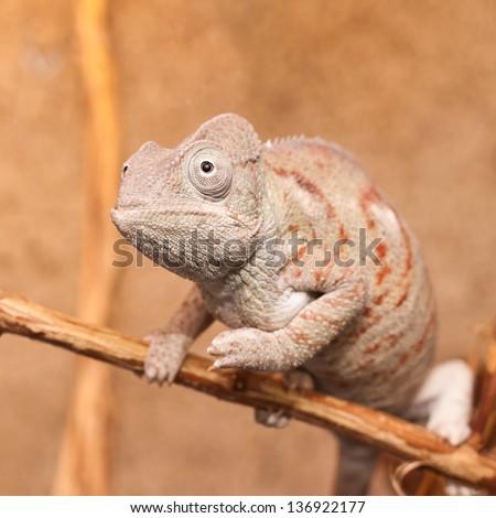 Gray chameleon closeup - stock photo