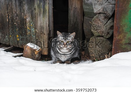 Gray classic tabby cat in doorway of wooden shed in winter. - stock photo
