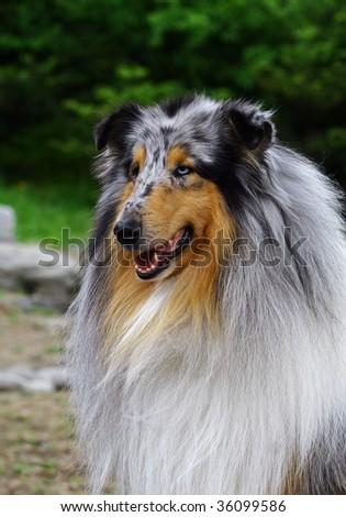 Gray collie - stock photo