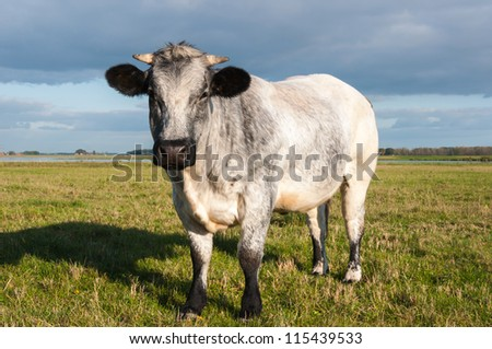 Gray cow with horns posing in a sunny meadow. - stock photo