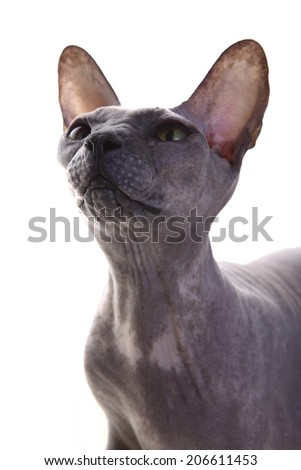 Gray Don Sphynx Cat on white background - stock photo