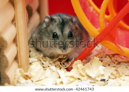 gray dwarf hamster phodopus looks into the lens - stock photo