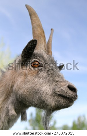 gray goat close-up - stock photo