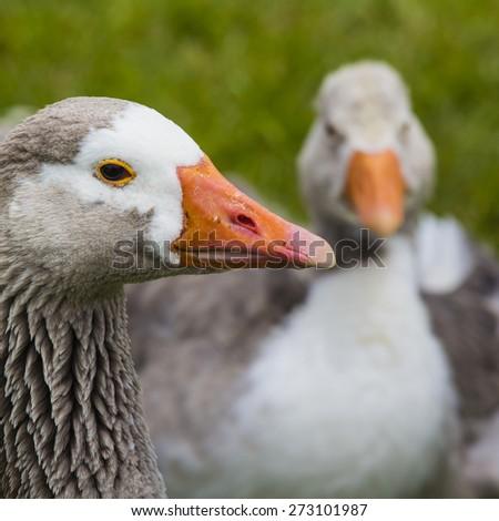 gray goose on green field - stock photo