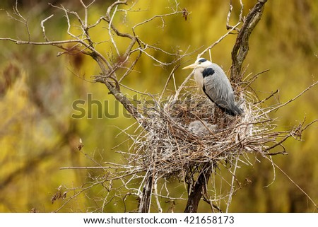 Gray heron caring very good care of their cubs. Nest gray herons beautifully with yellow and green background. - stock photo
