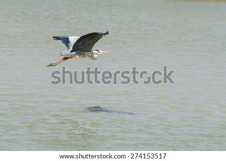 Gray heron in flight - stock photo