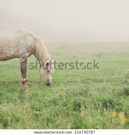 gray horse grazing in the morning mist - stock photo