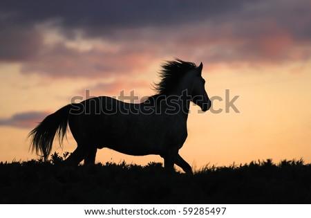 gray horse running on hill on sunset - stock photo