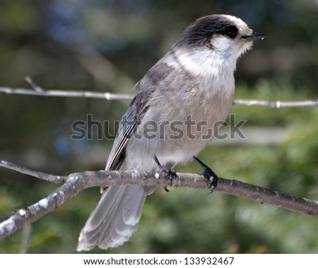 Gray Jay perched on a branch - stock photo