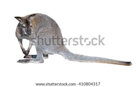 gray kangaroo isolated on a white background - stock photo
