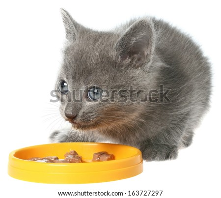Gray kitten eating cat food from a yellow bowl on a white background. - stock photo