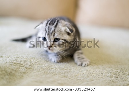 Gray kitten of breed Scottish Fold sitting on the couch - stock photo
