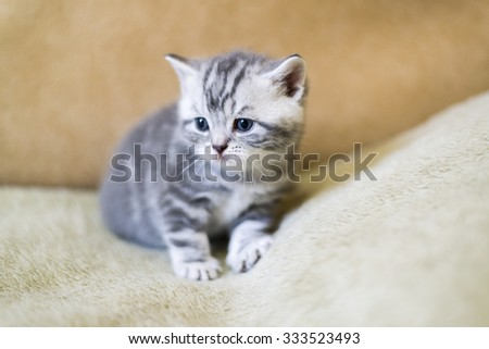 Gray kitten of breed Scottish lies on the couch - stock photo