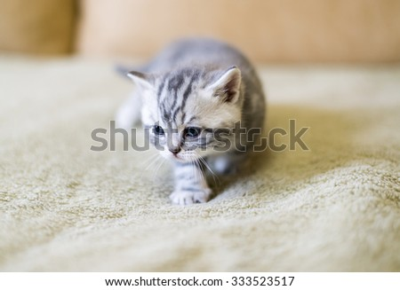 Gray kitten of breed Scottish on the couch - stock photo