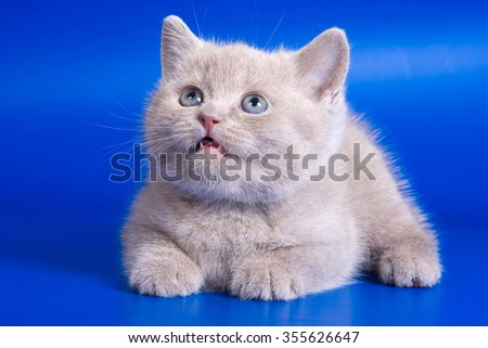 Gray kitten on a blue background - stock photo