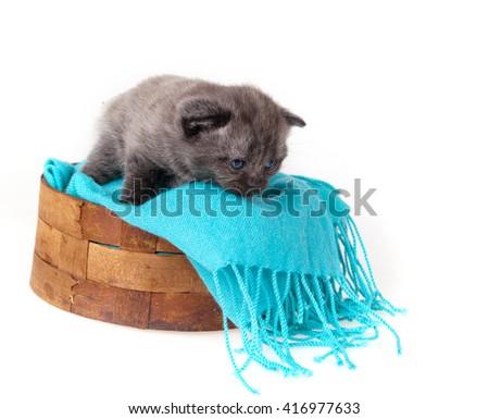 Gray kitten Scottish Fold cat in a wicker basket on a blue scarf - stock photo