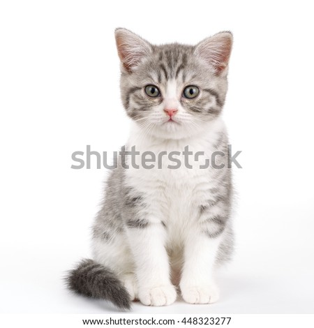 Gray kitten sitting on white background and looks directly. Portrait of the Scottish cat. - stock photo