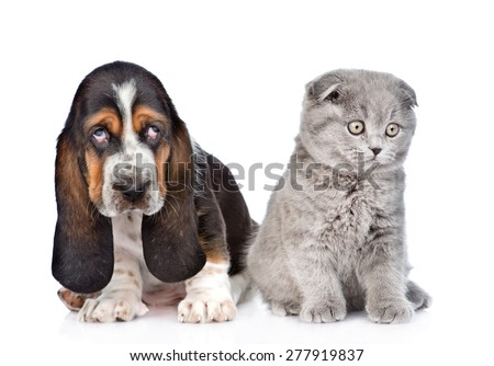 Gray kitten sitting with basset hound puppy. isolated on white background - stock photo