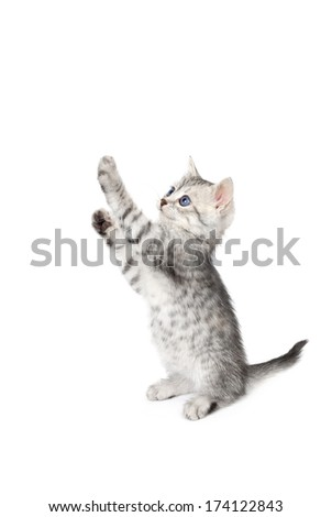 Gray kitten standing. Isolated on white background. - stock photo