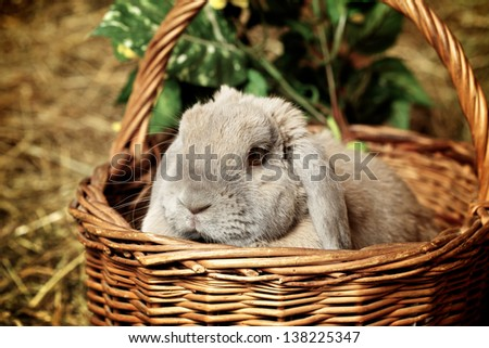 gray lop-earred rabbit in basket on hayloft - stock photo