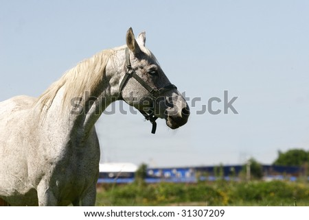 gray mare on field in summer - stock photo