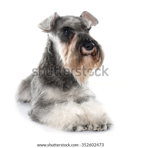 gray miniature schnauzer in front of white background - stock photo
