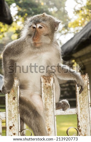 Gray monkey on a fence in Bali�´s monkey temple, Ubud. Bali. - stock photo